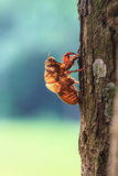 Cicada shell Stock Image