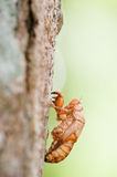Cicada shells. Close up view of an empty cicada shell on a tree Stock Image