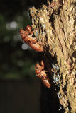 Cicada Shells Attached to a Tree Trunk. Immature periodical cicadas (nymphs) develop underground and suck juices from plant roots. After 13 or 17 years below Royalty Free Stock Image