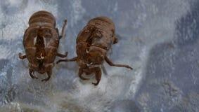Cicada Shells on Display. On glass top table Royalty Free Stock Image