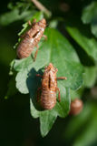 Cicada shells. Empty shells of 17 year cicadas resting on hibiscus leaves Royalty Free Stock Photo