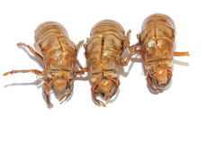 Cicada shells Stock Images