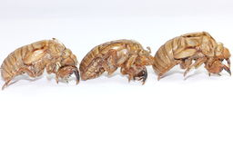 Cicada shells Stock Photos
