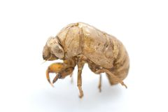 Cicada Side Shot Stock Image