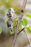 Cicada singing Stock Images