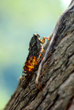 Cicada_1. Cicada singing on a tree in the summer sun Royalty Free Stock Photography