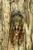 Cicada_2. Cicada singing on a tree in the summer sun Stock Image