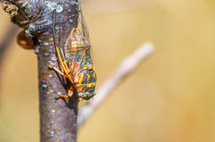 Cicada sitting on a branch. Macro shooting. Stock Photography
