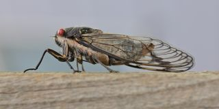 Cicada sitting on a wooden beam Stock Photo