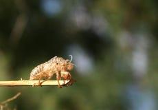 Cicada2 (skal) Arkivfoto