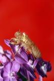 Cicada skin Stock Photography