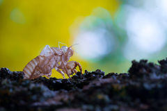 Cicada skin on a branch of wood Royalty Free Stock Images