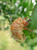 Cicada skin Stock Images