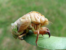 Cicada skin Royalty Free Stock Photography