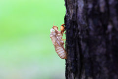 Cicada. The skin of cicada in park stock photography