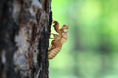 Cicada. The skin of cicada in park royalty free stock images