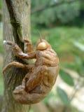 Cicada skin Royalty Free Stock Image