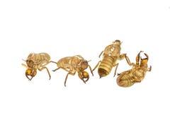 Cicada slough ή molt απομονωμένος στο άσπρο υπόβαθρο Στοκ εικόνες με δικαίωμα ελεύθερης χρήσης