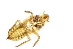 Cicada slough ή molt απομονωμένος στο άσπρο υπόβαθρο Στοκ φωτογραφίες με δικαίωμα ελεύθερης χρήσης