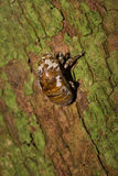 Cicada Slough στον κορμό Στοκ φωτογραφία με δικαίωμα ελεύθερης χρήσης