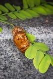 Cicada Slough στον κλάδο Στοκ Εικόνες