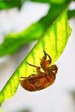Cicada slough 2 Stock Photography