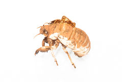 Cicada slough Royalty Free Stock Photo