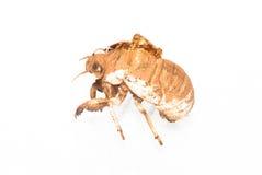 cicada slough Στοκ φωτογραφία με δικαίωμα ελεύθερης χρήσης