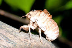 Cicada slough Royalty Free Stock Photography