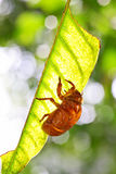 Cicada slough Stock Image
