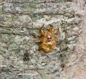 Cicada slough Στοκ εικόνα με δικαίωμα ελεύθερης χρήσης