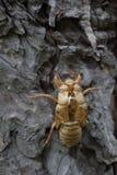 Cicada slough Στοκ εικόνες με δικαίωμα ελεύθερης χρήσης