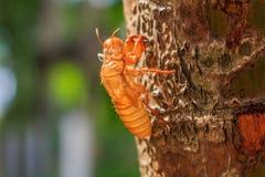 Cicada slough Στοκ Φωτογραφίες