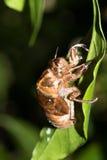Cicada slough Στοκ φωτογραφίες με δικαίωμα ελεύθερης χρήσης