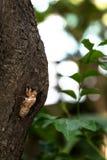 Cicada slough Στοκ Εικόνες