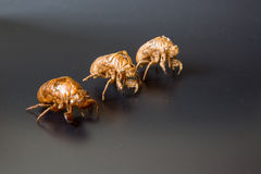 Cicada slough Στοκ Φωτογραφία