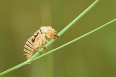 Cicada slough Royalty Free Stock Image