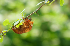 Cicada slough Stock Images