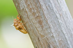 Cicada slough close-up Royalty Free Stock Photos