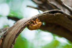 Cicada slough. Closeup of cicada slough with shallow depth of field on the bark Stock Image