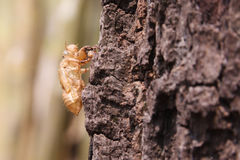 Cicada slough. Holding on a tree Royalty Free Stock Images