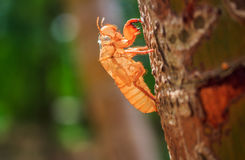 Cicada slough Stock Photography