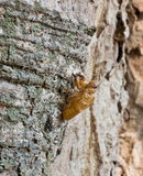 A cicada slough Stock Photos