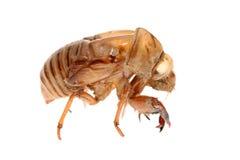 Cicada slough Stock Photo