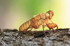 Cicada slough or molt  hold on the tree Stock Photos