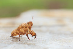 Cicada slough or molt  hold on the tree Royalty Free Stock Photography