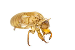 Cicada slough or molt  isolated on white background Stock Image