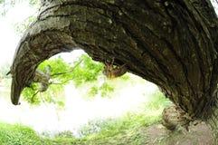 Cicada slough. Stock Photography