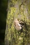Cicada Slough Royalty Free Stock Photos