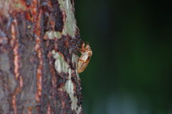 Cicada slough. A Cicada slough on a trunk of poplar Stock Photography